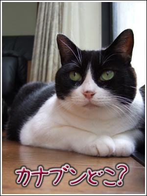 カナブン探す猫