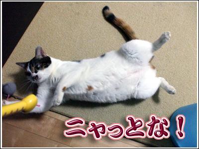 腹見せの猫