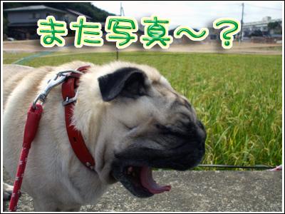 大欠伸のパグ犬