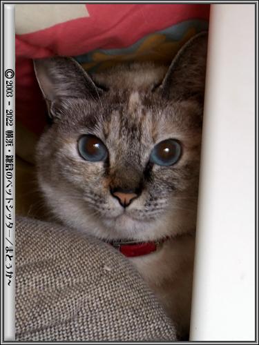コタツに隠れる猫