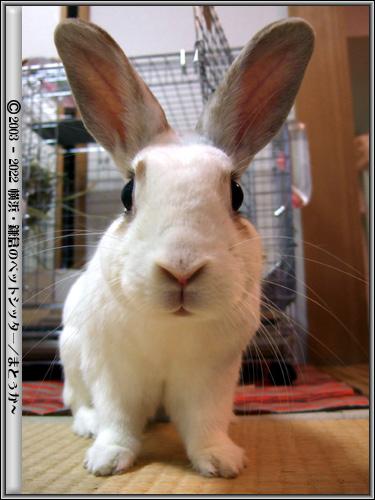 正面顔のウサギ