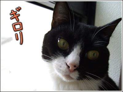 ギロリの猫