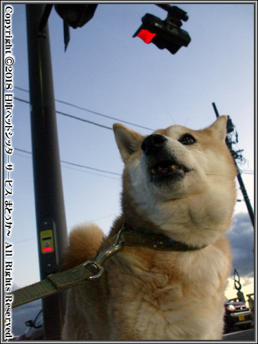 振り返る柴犬